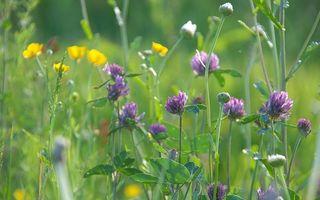 Бесплатные фото клевер,ромашки,цветы,поле,трава,природа