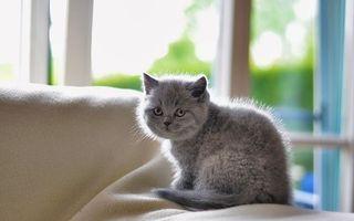 Фото бесплатно котенок, серый, пушистый