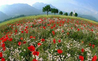 Фото бесплатно мак, ромашки, растения