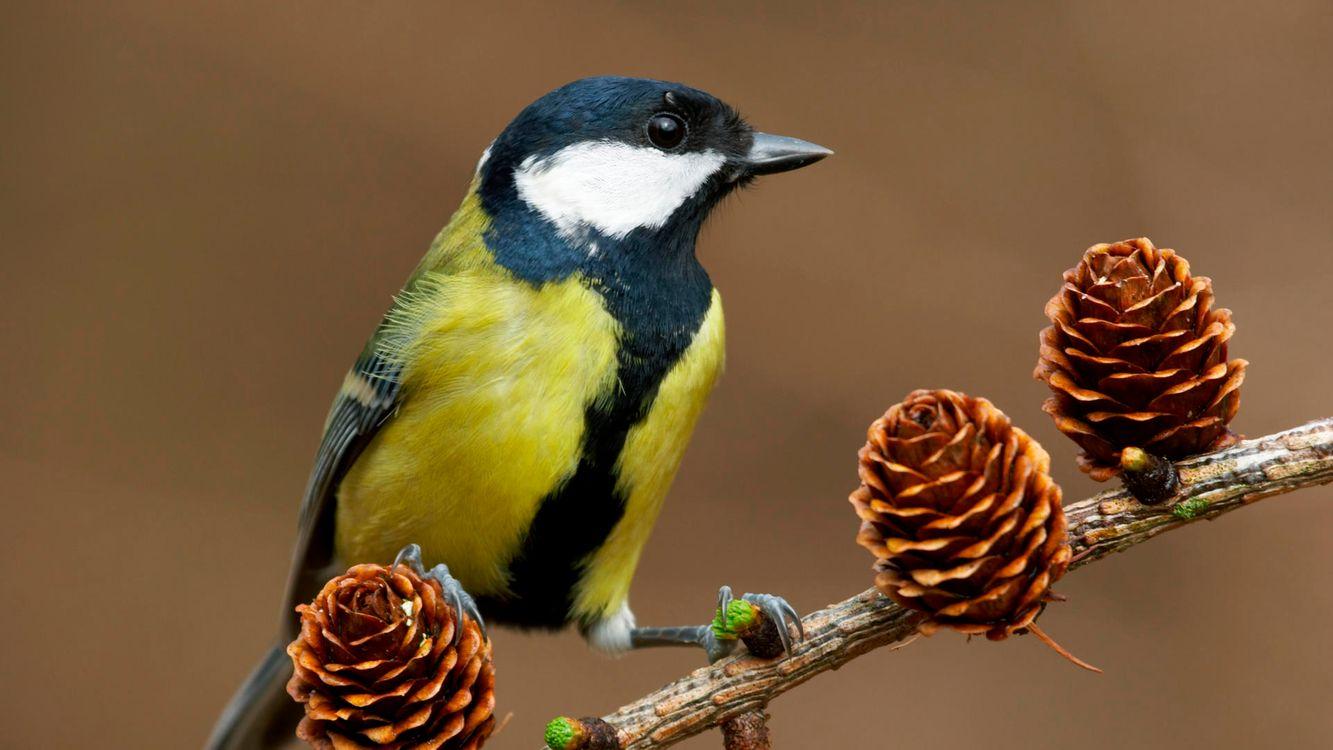 Фото бесплатно синица, ветка, елка, шишки, раскраска, птицы, птицы