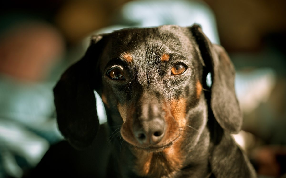 Фото бесплатно собака, сучка, кобель, порода, уши, морда, животное, животные, собаки, собаки