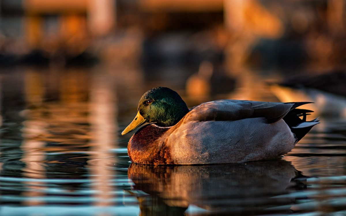 Photos for free duck, drake, feathers - to the desktop
