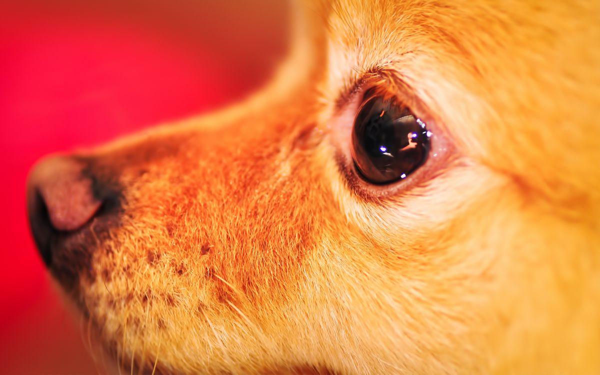 Фото бесплатно ¬¬¬¬¬нос, усы, морда, собака, пес, щенок, серый, рот, фото, глаза, собаки, собаки
