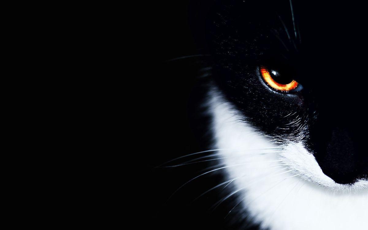 Фото бесплатно кот, черный, фон, глаз, белая грудь, кошки, кошки