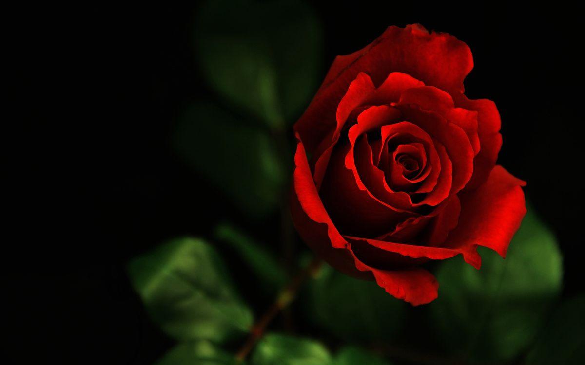 Фото бесплатно роза, темно, макро, цветок, разное
