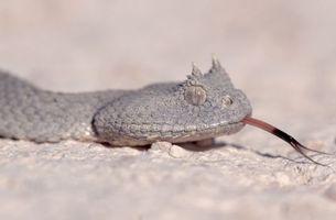 Фото бесплатно животные, змія, гадюка, пісок
