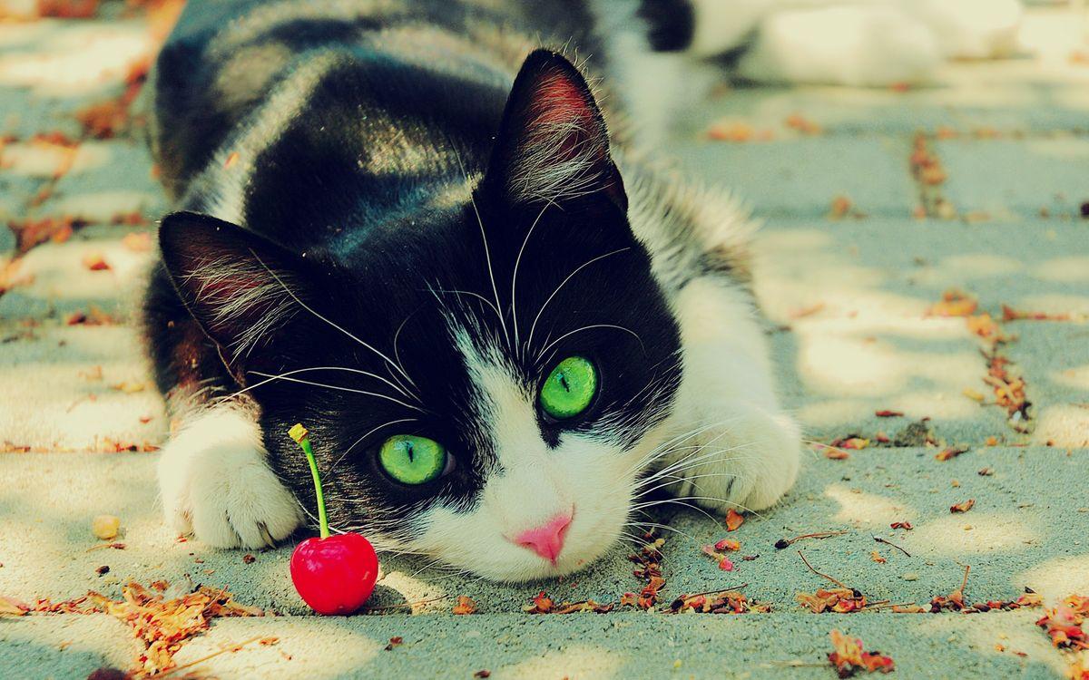 Фото бесплатно кот, котенок, вишенка, ягода, асфальт, листья, осень, глаза, усы, шерсть, черный, уши, лапы, кошки, кошки