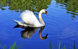 Фото бесплатно лебедь, одна, штука