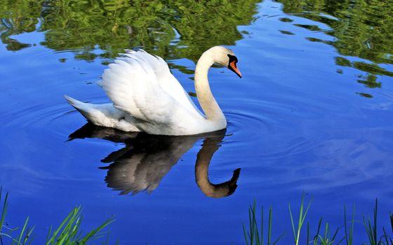 Бесплатные фото лебедь,одна,штука,птицы