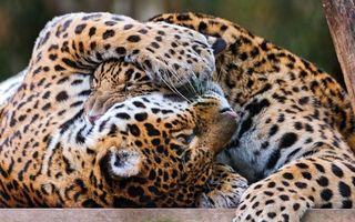 Фото бесплатно леопарды, двое, играют