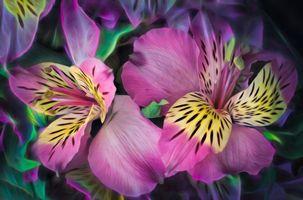 Фото бесплатно лилии, цветы, искусство