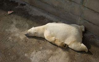 Бесплатные фото медведь,белый,полярный,спит,бетон,зоопарк,животные
