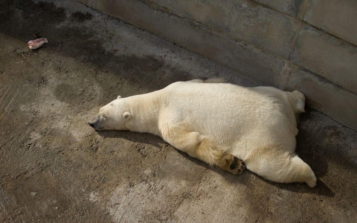 Фото бесплатно медведь, белый, полярный, спит, бетон, зоопарк, животные, животные