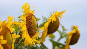 Бесплатные фото подсолнух,поле,цветок,листья,лепестки,тычинки,семечки