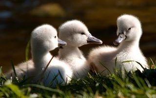 Photo free ducklings, fluffy, small