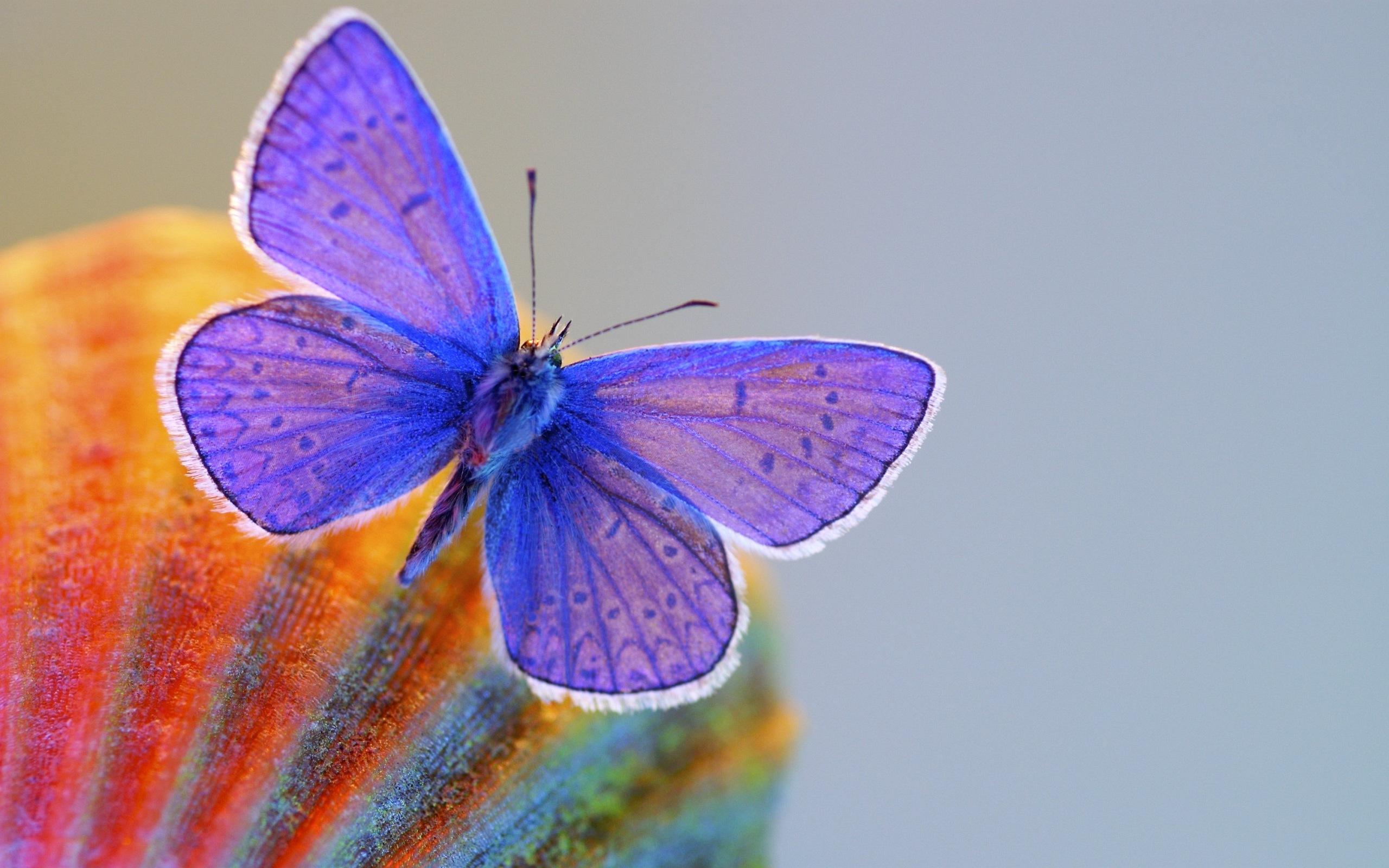 бабочка, синяя, крылья