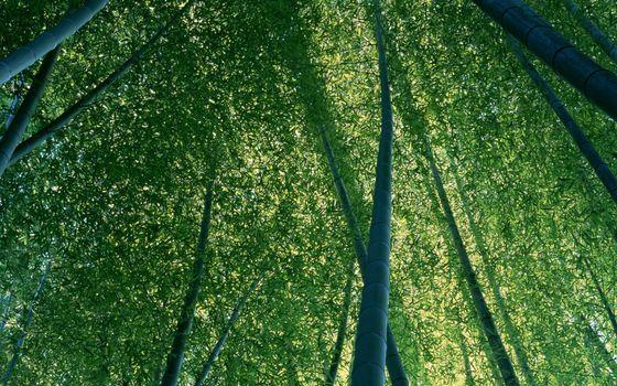 Фото бесплатно бамбук, лкс, листва