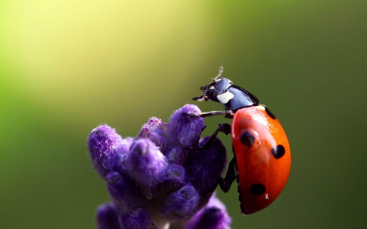 Фото бесплатно божья, коровка, красная, пятна, черные, голова, лапки, цветок, насекомые, насекомые