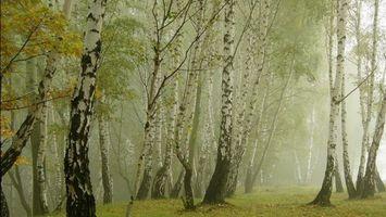Фото бесплатно лес, туман, березы