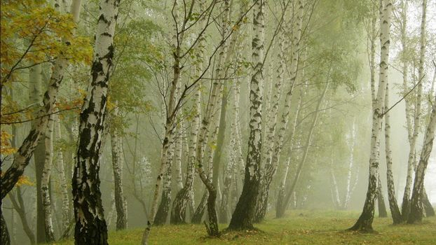 Заставки лес, туман, березы
