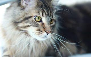 Фото бесплатно кошки, шерсть, уши