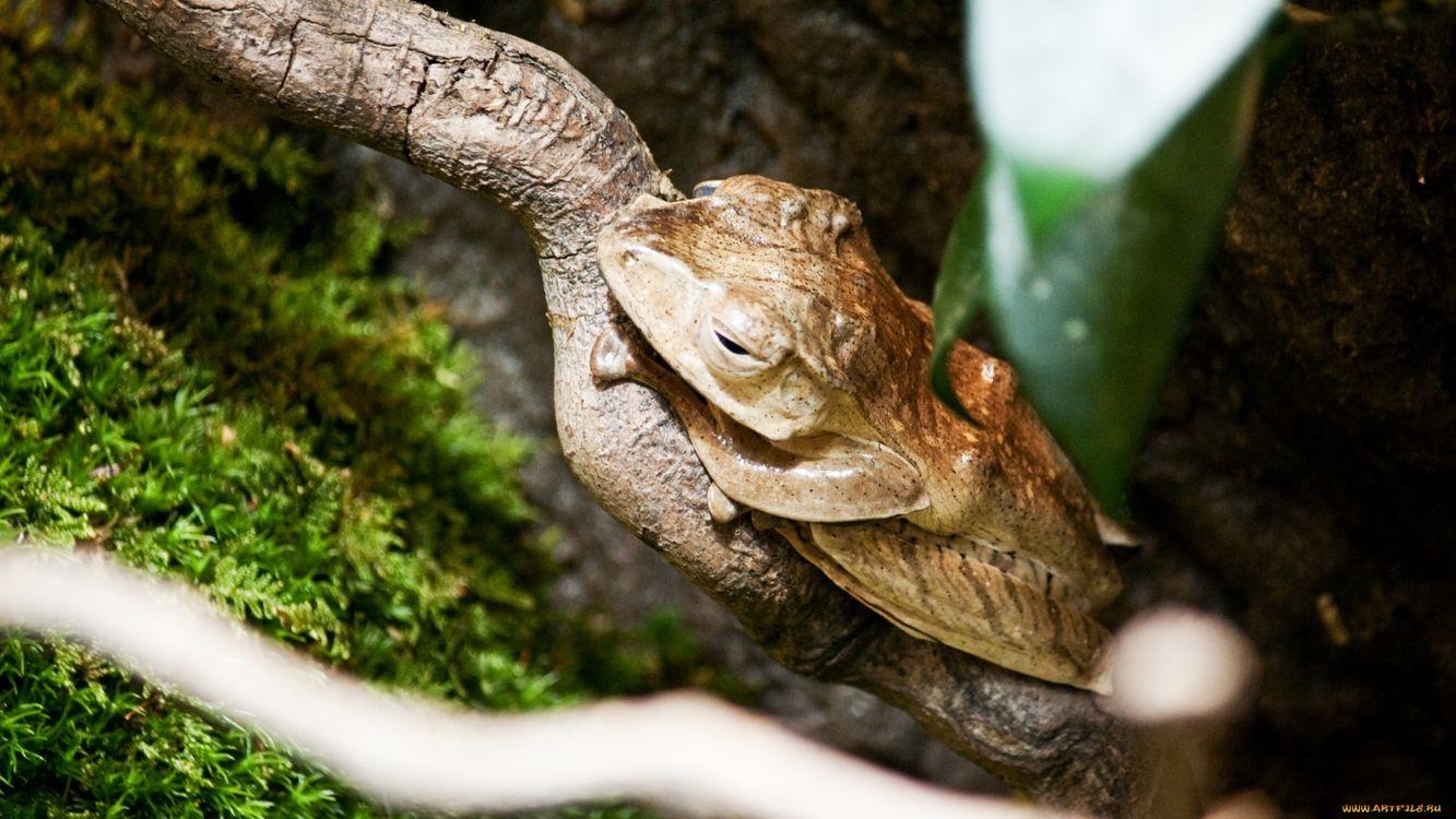 Фото бесплатно лягушка, жаба, ветвь - на рабочий стол