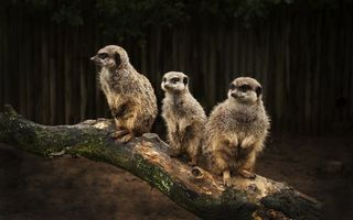 Фото бесплатно сурикаты, зверьки, маленькие