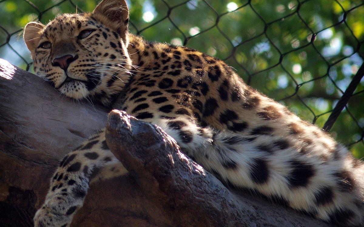 Photos for free Leopard, stripes, specks - to the desktop