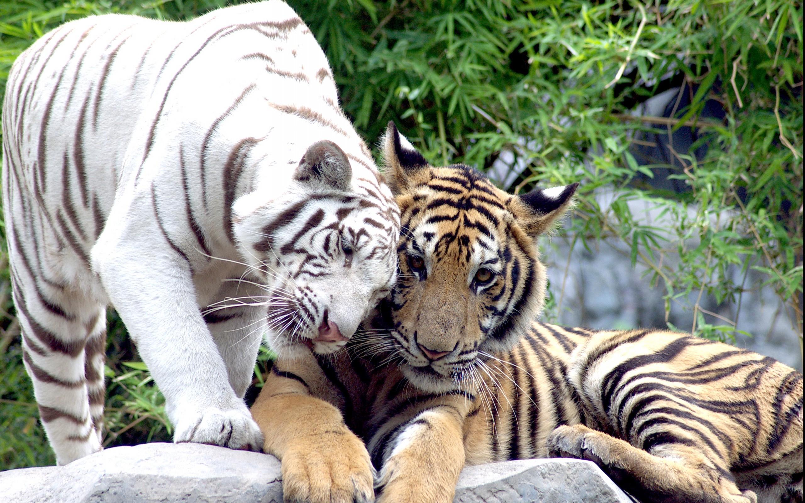 Фото обои на рабочий стол тигры