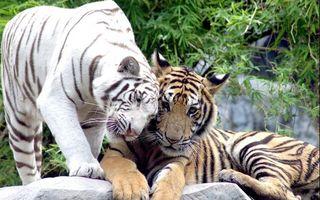 Фото бесплатно тигры, шерсть, хищники