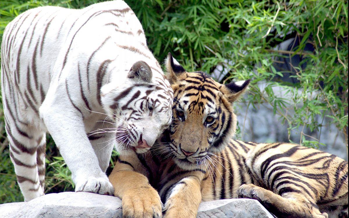Фото бесплатно тигры, шерсть, хищники, зубы, хвост, лапы, заповедник, животные, животные