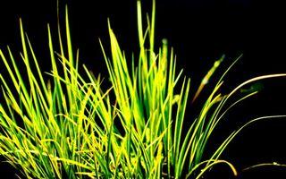 Обои трава, зеленая, сочная, природа, фон, черный, макро