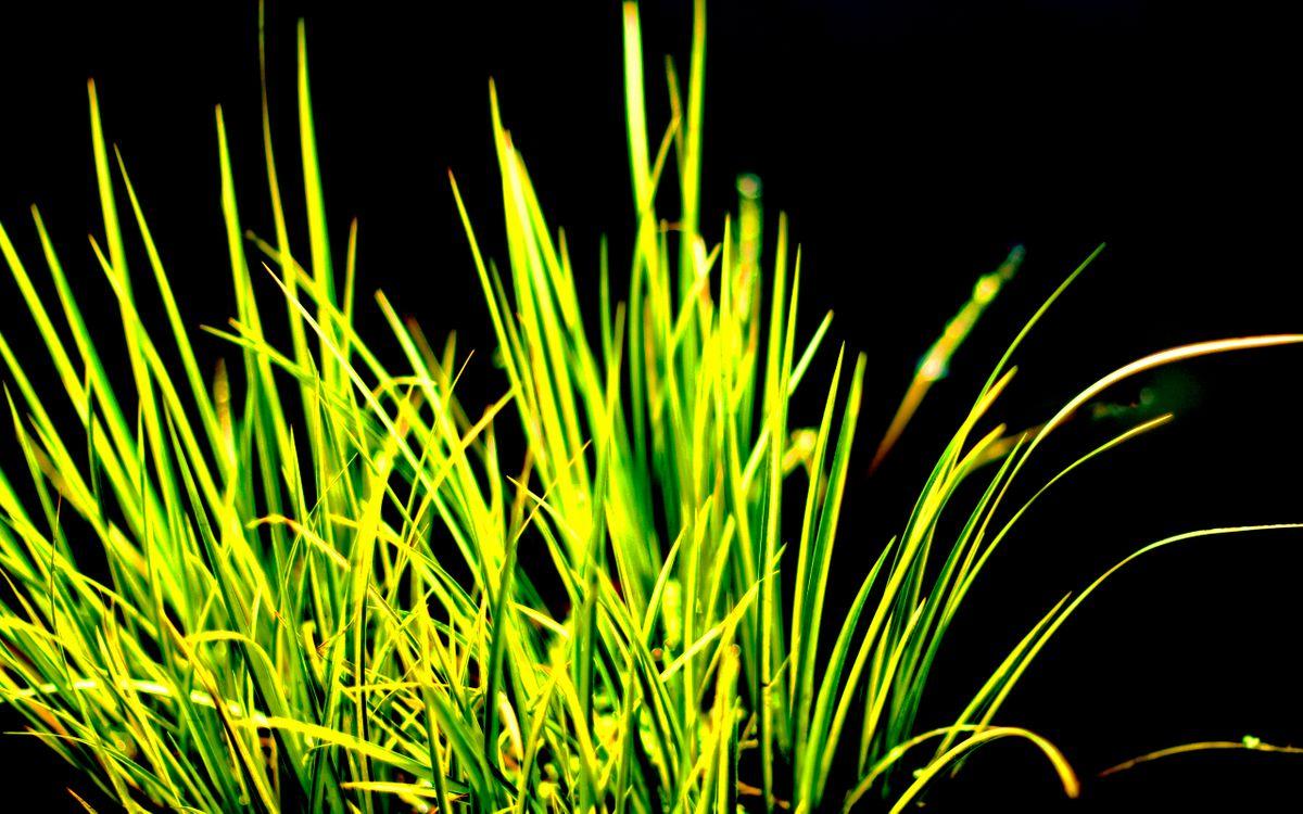 Картинка трава, зеленая, сочная, природа, фон, черный, макро на рабочий стол. Скачать фото обои макро