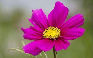 Бесплатные фото цветок,лепестки,розовые,тычинки,желтые,стебель,листья