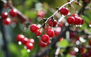Заставки вишня, ветка, ягода, вода, капли, дождь, природа