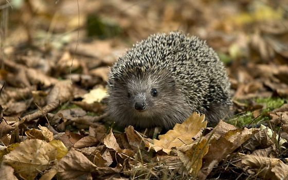 Photo free hedgehog, leaves, forest