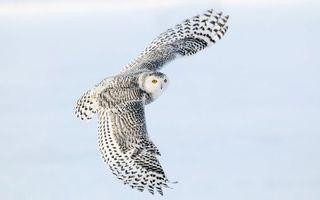 Фото бесплатно сова, зима, полет, размах, крылья, птицы