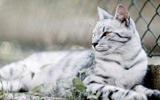 Заставки кот, белый, серые