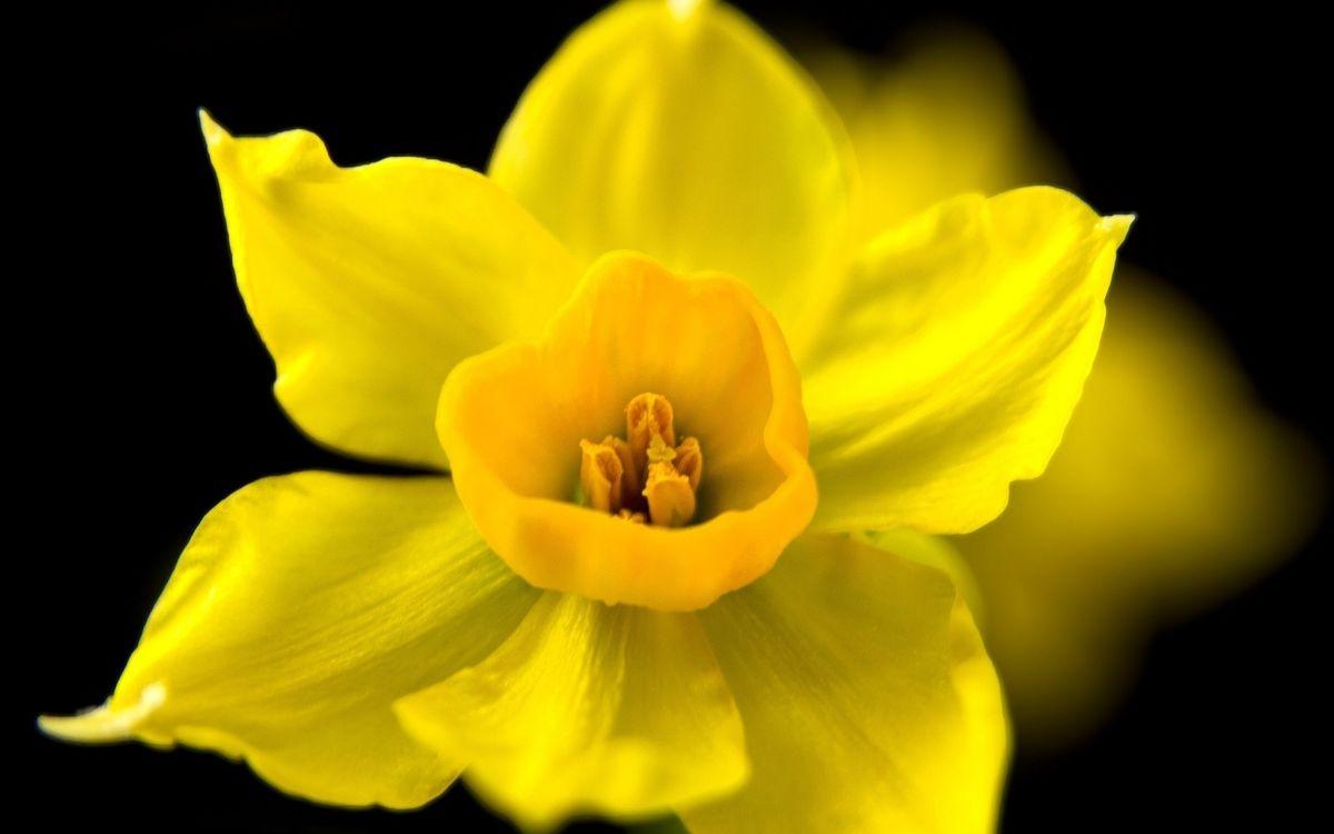 Фото бесплатно лепестки, желтые, пестики, тычинки, фон, черный, цветы, цветы