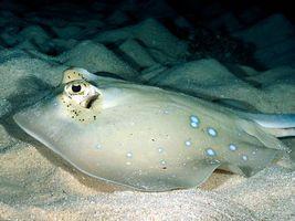 Бесплатные фото море, дно, песок, скат, глаза, рыба, подводный мир