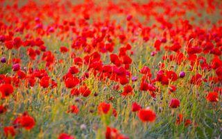 Бесплатные фото поле,маки,красные,трава,зеленая,природа,цветы