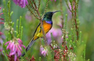 Бесплатные фото птица,нектарница,разноцветная,растительность,цветы,птицы