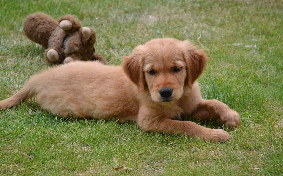Фото бесплатно щенок, морда, лапы, хвост, уши, игрушка, собаки, собаки