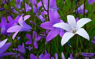 Бесплатные фото цвет, фиолетовый, белый, лепестки, стебли, трава, цветы