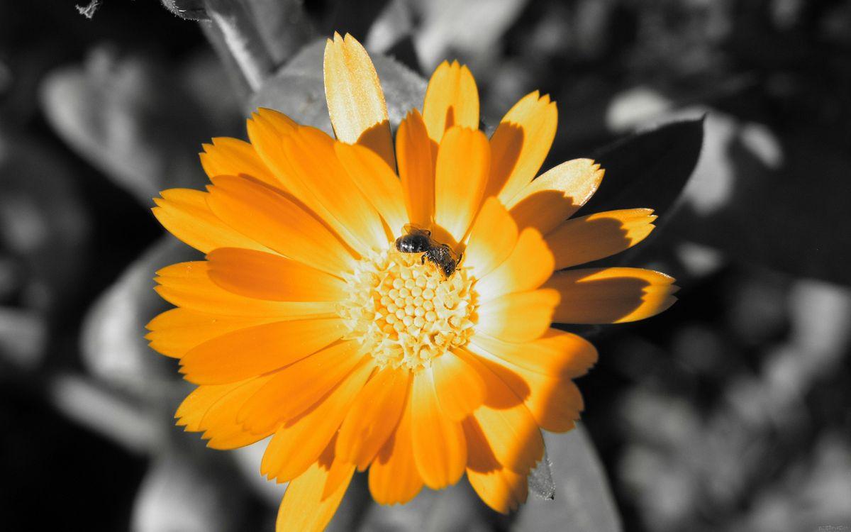 Фото бесплатно цветок, ромашка, оранжевая, фон, серый, черно-белый, фото, лепестки, пчела, оса, стебель, тычинка, нектар, крылья, макро, цветы
