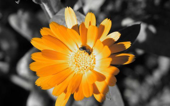Бесплатные фото цветок,ромашка,оранжевая,фон,серый,черно-белый,фото,лепестки,пчела,оса,стебель,тычинка