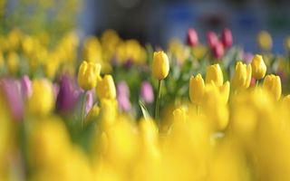 Фото бесплатно тюльпаны, клумба, лепестки
