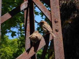 Фото бесплатно воробей, птенец, кормление