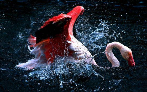 Заставки фламинго, клюв, крылья
