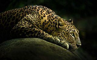 Фото бесплатно леопард, кот, дикий